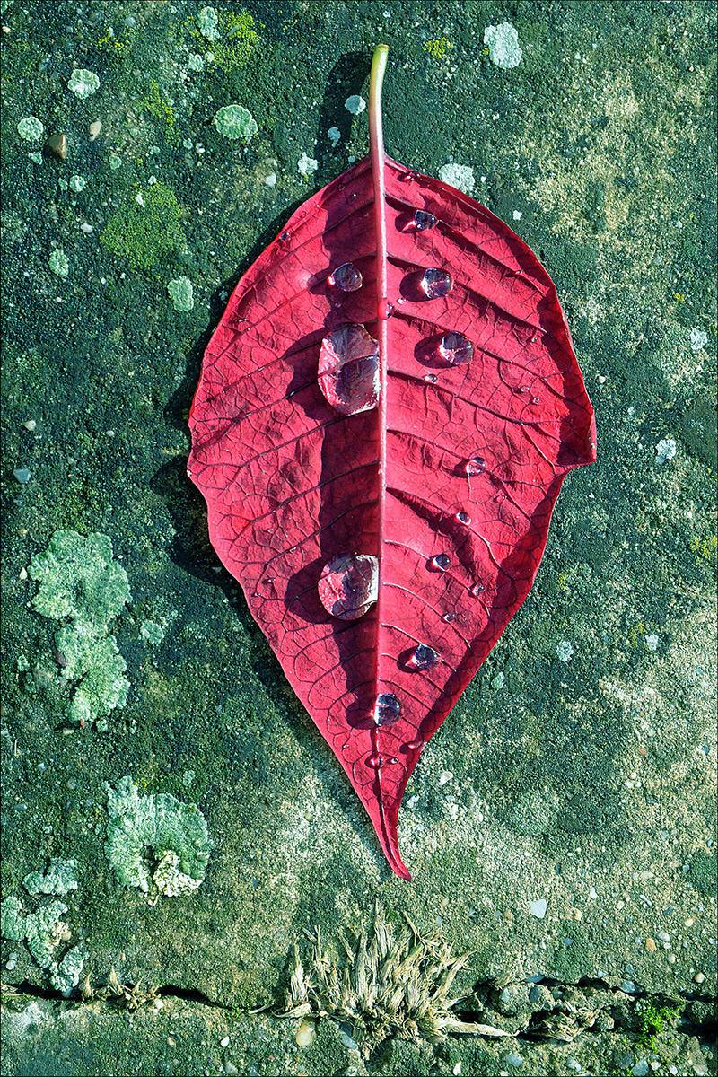Rot gefärbtes Blatt mit Regentropfen auf dem Boden liegen